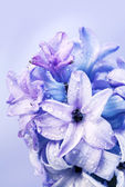 Blossoming beautiful flower hyacinth — Stok fotoğraf