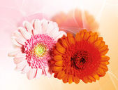 Due fiori di gerbera — Foto Stock