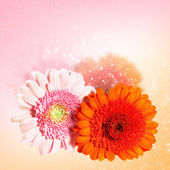 Two gerbera flowers — Stock Photo