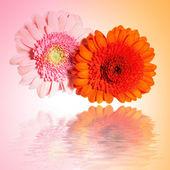 Dvě květiny gerbera — Stock fotografie