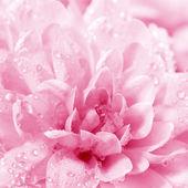 Beautiful flower Chrysanthemum — Stockfoto