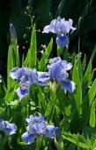 Blossoming flower iris — Stock Photo