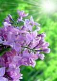 Lilac with sunny rays — Stock Photo