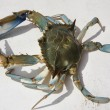 Blue crab — Stock Photo #38616507