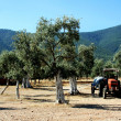 Stock Photo: Olive grove and tractor
