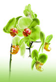 Mooie bloem orchid — Stockfoto