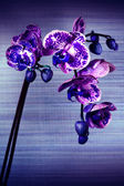 Beautiful flower Orchid, phalaenopsis — ストック写真