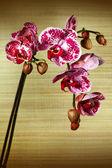 Beautiful flower Orchid, phalaenopsis — Stock Photo