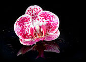 Flower Orchid in water drops — Stock Photo