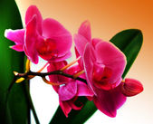 Beautiful flower Orchid, phalaenopsis — Stock Photo