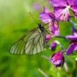 Stock Photo: Butterfly on leaves of garden geranium