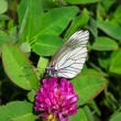 Butterfly on a leaves of clover — Stock Photo