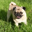 Dog pug — Stock Photo