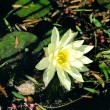 Water-lily close-up — Stock Photo #39845461