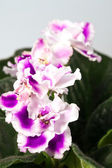 African violet flower — Stock Photo