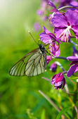 Butterfly on a leaves of garden geranium — Stock Photo