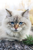 Siberian cat — Stock Photo