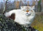 Sibirische Katze — Stockfoto