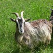 Goats on the nature — Stock Photo #40445719