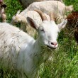 Goats on the nature — Stock Photo #40445727