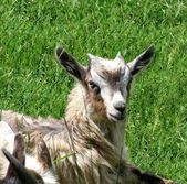 Goat ( kid ) on green grass — Stock Photo
