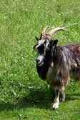 Goat on the nature — Stock Photo