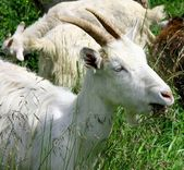 Goats on the nature — Stock Photo