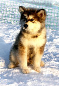 Dog puppy  Alaskan Malamute — Stock Photo