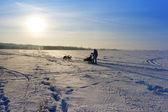 Winter fields and siberian husky — Stock Photo