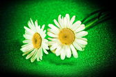 Flower ox-eye daisies — Stock Photo