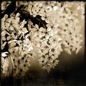 цветущая черемуха весны — Стоковое фото