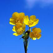 Wild buttercups — Stock Photo