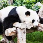 Панда — Стоковое фото #35666751