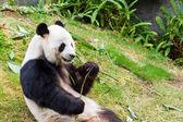 Cute giant panda eating bamboo in china. — Stock Photo