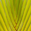 TRAVELERS PALM TREE — Stock Photo