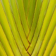 Stock Photo: TRAVELERS PALM TREE