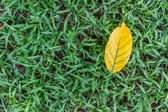 Leaves yellow falingl on the sward — Stock Photo