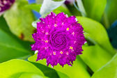 Globe amaranth or Gomphrena globosa flower — Stock Photo