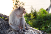 Monkey yawning — Stockfoto