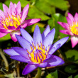 Purple lotus on the river.  — Stock Photo