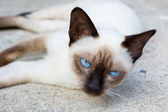 Siamese cat. — Stockfoto