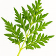 Stock Photo: Sulfur cosmos leaves.