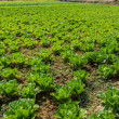 Lettuce plant field. — Stock Photo #39534781