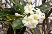 Plumeria or frangipani. — Stock Photo