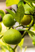 Fresh lime. — Stock Photo