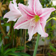 Stock Photo: Pink and white amaryllis flower.