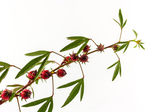 Hibiscus sabdariffa or roselle fruits. — Stock Photo
