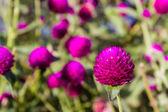 Globe amaranth — Stock Photo