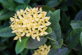 Ixora — Stock Photo