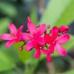 Egyptian Star Cluster flowers or Pentas Lanceolata — Stock Photo